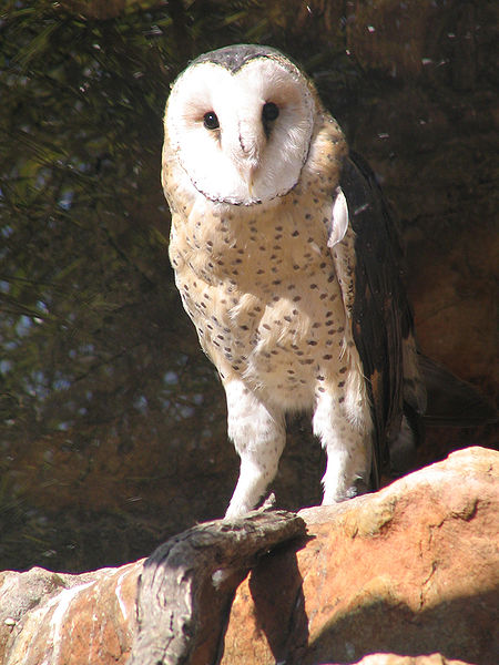 Bird of the Bible - Barn Owls (5/5)
