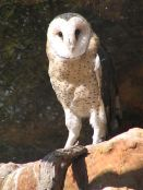 African Grass Owl (Tyto capensis) by Wiki