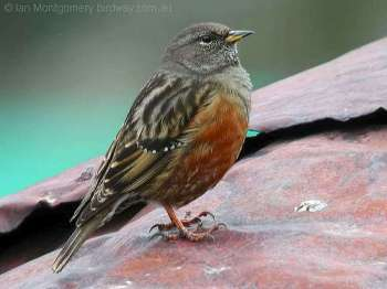Alpine Accentor (Prunella collaris) by Ian