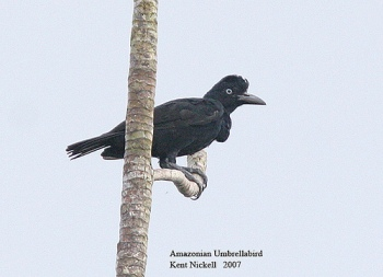 Amazonian Umbrellabird (Cephalopterus ornatus) by Kent Nickell