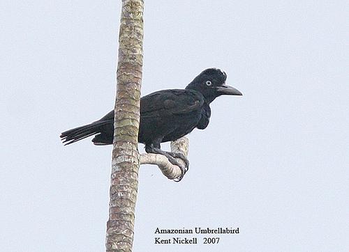 Amazonian Umbrellabird (Cephalopterus ornatus) by Kent Nickell