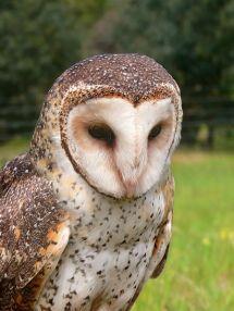 Australian Masked Owl (Tyto novaehollandiae) by Wiki