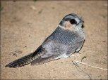 Australian Owlet-nightjar (Aegotheles cristatus) by Ian