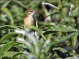 Australian Reed Warbler (Acrocephalus australis) by Ian