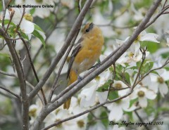 Baltimore Oriole (Icterus galbula) by S Slayton