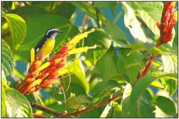 Bananaquit (Coereba flaveola) by Daves BirdingPix
