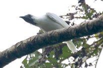 Bare-throated Bellbird (Procnias nudicollis) by AGrosset