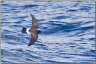 Black-bellied Storm Petrel (Fregetta tropica) by Daves BirdingPix