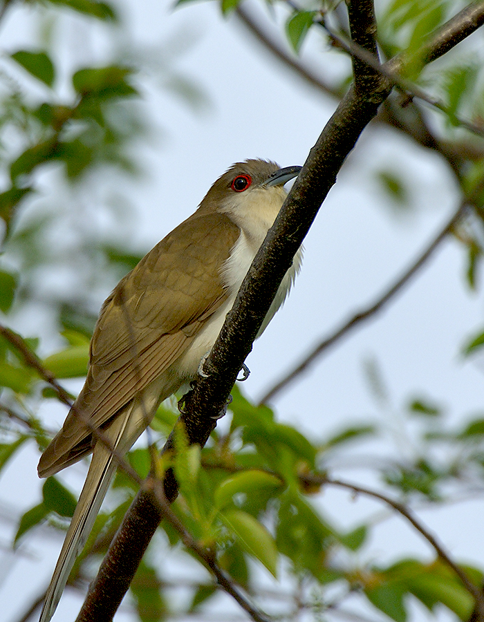 Black Billed Cuckoo Coccyzus Erythropthalmus By Jim Fenton