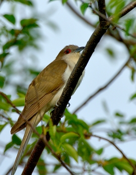 Black-billed Cuckoo by Jim Fenton