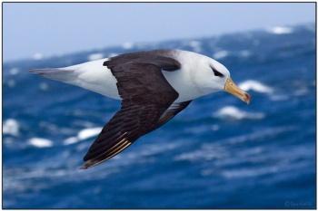 Black-browed Albatross (Thalassarche melanophris) by Daves BirdingPix