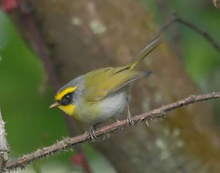 Black-faced Warbler (Abroscopus schisticeps) by Nikhil Devasar