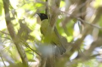Black-headed Berryeater (Carpornis melanocephala) by AGrosset