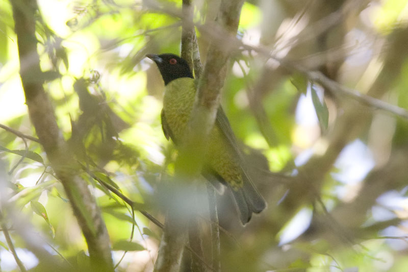 Black-headed Berryeater (Carpornis melanocephala) by AGrosset