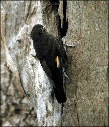 Black-tailed Treecreeper (Climacteris melanurus) by Ian