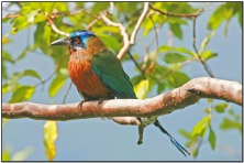 Blue-capped Motmot (Momotus momota) by Daves BirdingPix