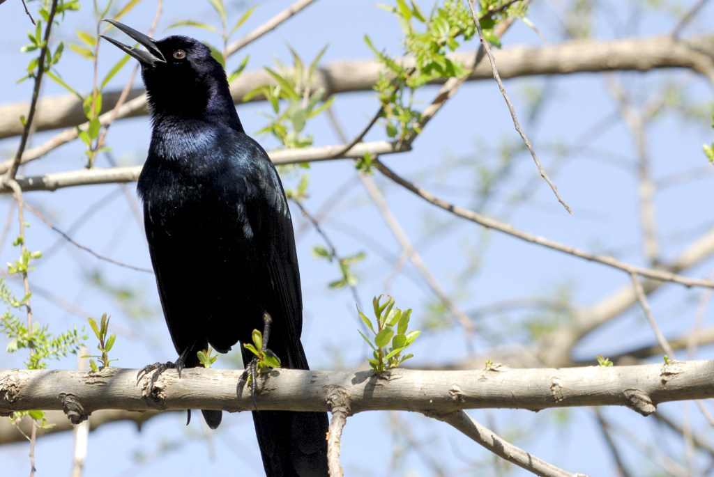 Boat-tailed Grackle (Quiscalus major) at Lake Howard, Winter Haven, Florida By Dan'sPix