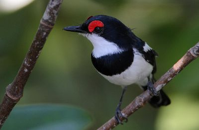 Brown-throated Wattle-eye (Platysteira cyanea) ©WikiC
