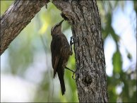 Brown Treecreeper (Climacteris picumnus) by Ian