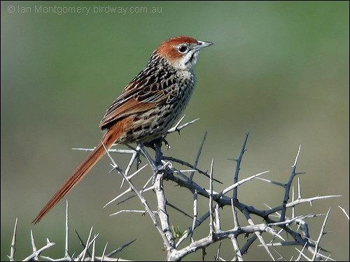 Cape Grassbird (Sphenoeacus afer) by Ian