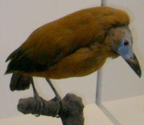 Capuchinbird (Perissocephalus tricolor) by Wiki