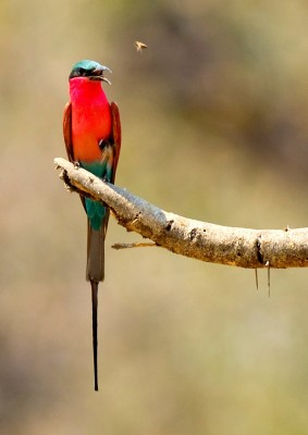 Carmine BeeEater (Merops nubicus or nubicoides) by Marc at Africaddict