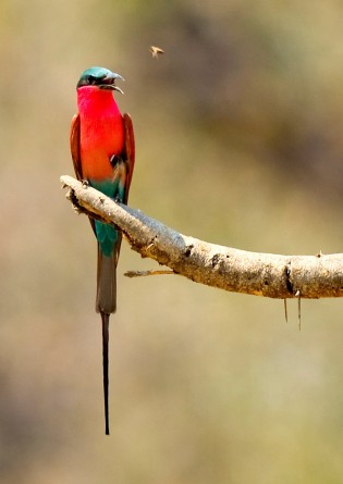 Carmine BeeEater by Marc at Africaddict