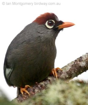 Chestnut-capped Laughingthrush (Garrulax mitratus) by Ian