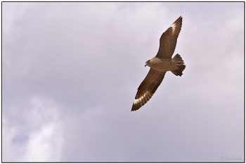 Chilean Skua (Stercorarius chilensis) by Daves BirdingPix