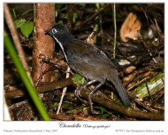 Chowchilla - Orthonychidae family - by Ian