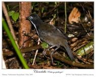 Chowchilla - Orthonychidae family - by Ian