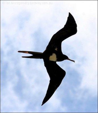 Christmas Frigatebird (Fregata andrewsi) by Ian