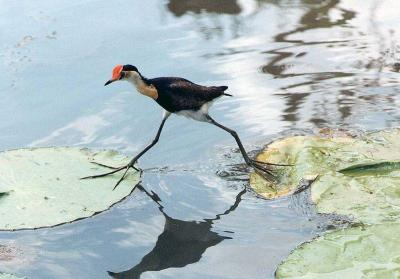 Comb-crested Jacana (Irediparra gallinacea)  ©WikiC