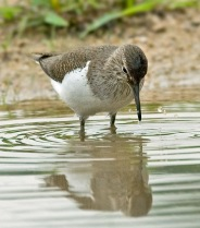 Common Sandpiper (Actitis hypoleucos) by W Kwong