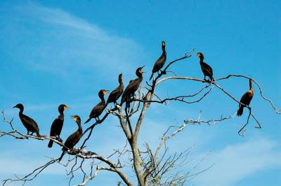 Cormorant Tree by Dan