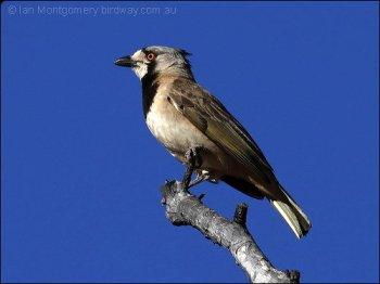 Crested Bellbird (Oreoica gutturalis) by Ian