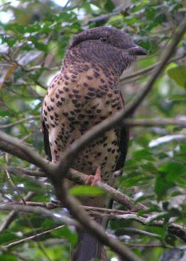 Cuckoo Roller (Leptosomus discolor) from Wikipedia