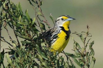 Eastern Meadowlark (Sturnella magna) by Bob-Nan