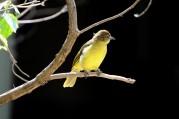 Eastern Yellow Wagtail (Motacilla tschutschensis) by Bob-Nan
