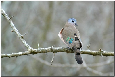 Emerald-spotted_Wood-Dove by Dave's BirdingPix