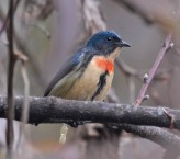 Fire-breasted Flowerpecker (Dicaeum ignipectus) by Nikhil Devasar