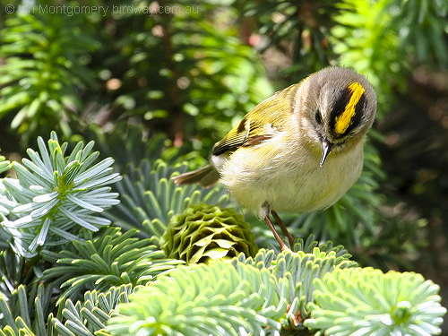 Goldcrest – The Royal Crown