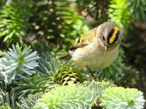 Goldcrest (Regulus regulus) by Ian