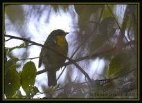Golden-breasted Fruiteater (Pipreola aureopectus) by Robert Scanlon