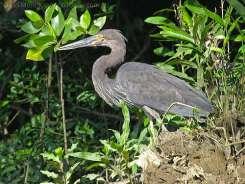 Great-billed Heron (Ardea sumatrana) by Ian