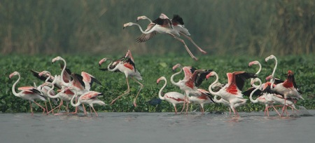 Greater Flamingo (Phoenicopterus roseus) 2by Nikhil Devasar