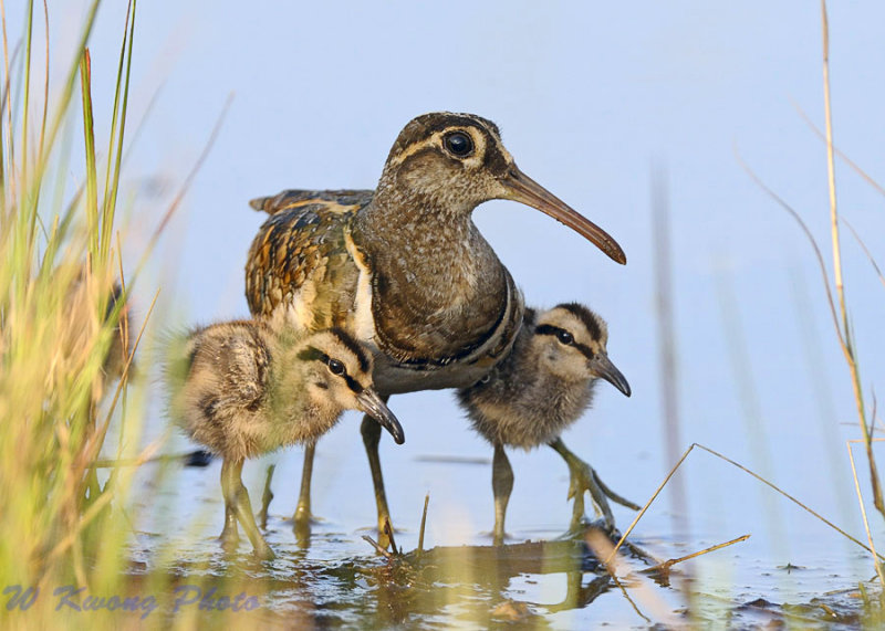 Greater Painted Snipe (Rostratula benghalensis) by W Kwong