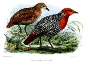 Madagascan Flufftail (Sarothrura insularis) ©WikiC