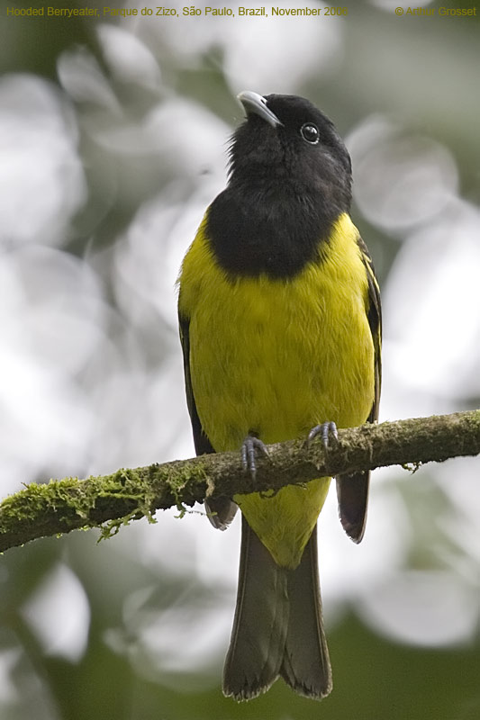 Hooded Berryeater (Carpornis cucullata) by AGrosset