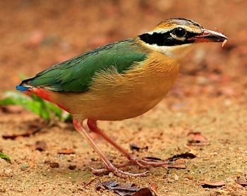 Indian Pitta (Pitta brachyura) ©WikiC